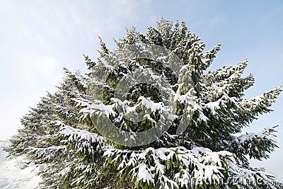 Snowy firs.