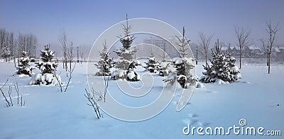 Snowy fur-trees