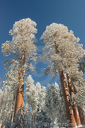 Snowy Giant Sequoia Trees tower above the forest