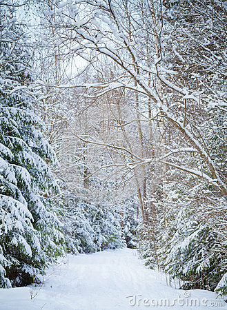 Snowy lane in winter forest