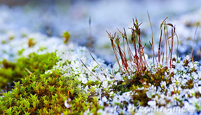 Snowy moss on the rock.
