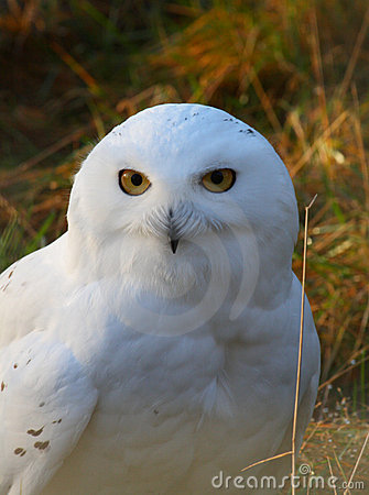 Free Snowy Owl Royalty Free Stock Photography - 16983657