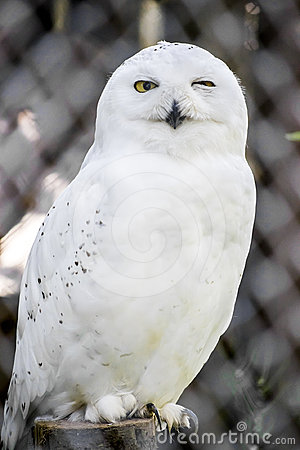 Free Snowy Owl Stock Photos - 24592503