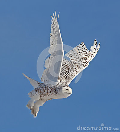 Free Snowy Owl Stock Photos - 30340243