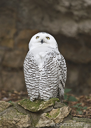 Free Snowy Owl Stock Photo - 4545210