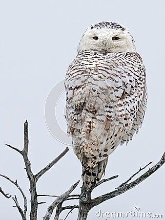 Free Snowy Owl Royalty Free Stock Photos - 48701318