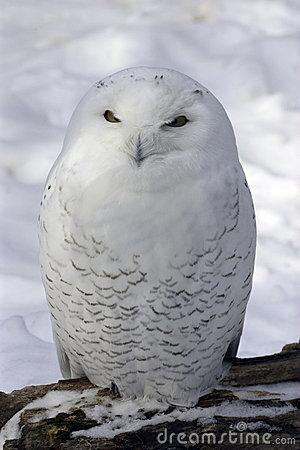 Free Snowy Owl Royalty Free Stock Photos - 73308