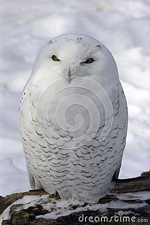 Free Snowy Owl Royalty Free Stock Photos - 73308