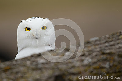 Snowy owl behind fallen tree