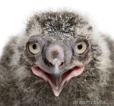 Free Snowy Owl Chick, Bubo Scandiacus, 19 Days Old Against White Back Royalty Free Stock Photography - 103836817