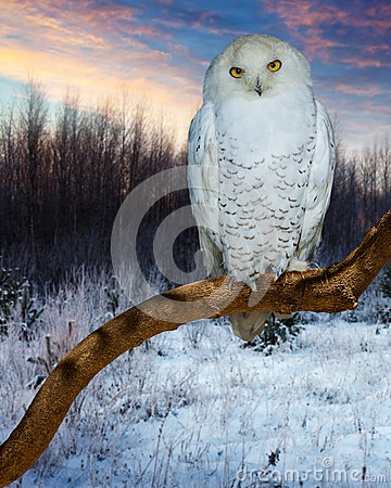 Free Snowy Owl During Sunset Stock Photography - 62982642