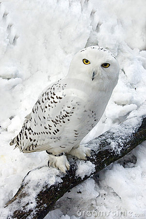 Free Snowy Owl In Snow Stock Photos - 12389303
