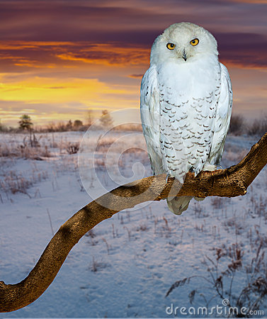 Free Snowy Owl  In Sunrise Tim Royalty Free Stock Photos - 32352378
