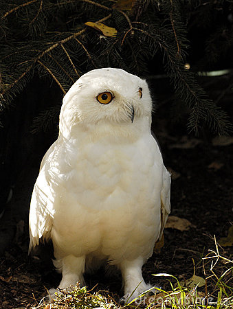 Free Snowy Owl (male) Stock Photo - 1658660