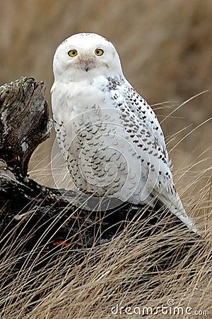 Free Snowy Owl On Log Royalty Free Stock Image - 3941556