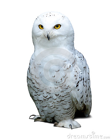 Free Snowy Owl Over White Stock Photography - 33904492