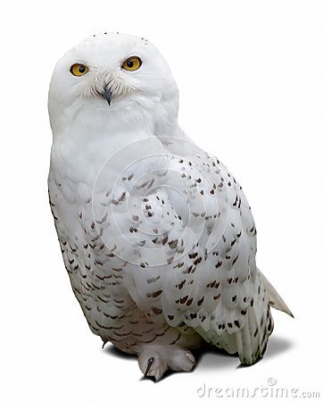 Free Snowy Owl  Over White Stock Images - 34536314