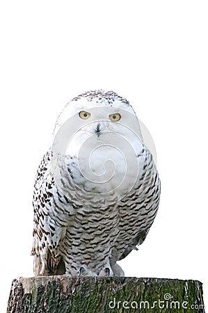 Free Snowy Owl Sitting On A Stump On White Background Stock Photos - 18842183