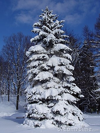 Free Snowy Pine Stock Photo - 343800