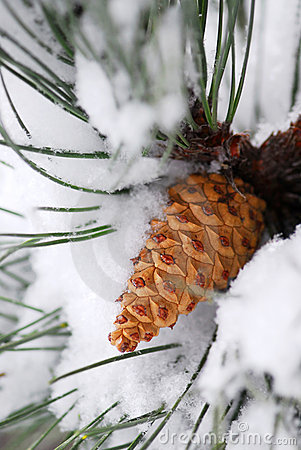 Snowy pine cone