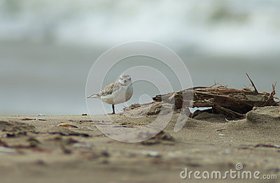 Snowy Plover on Beach