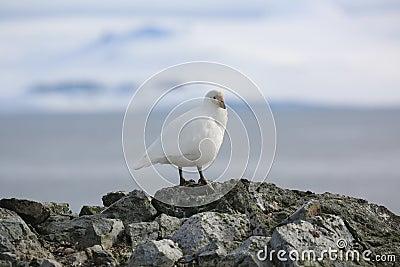 Snowy Sheathbill on a rock in Antarctica