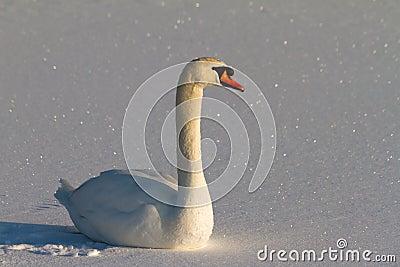 Snowy swan
