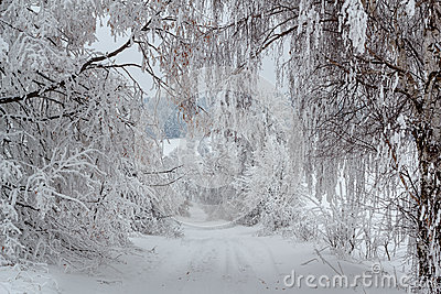 Snowy trees in winter landscape and rural road