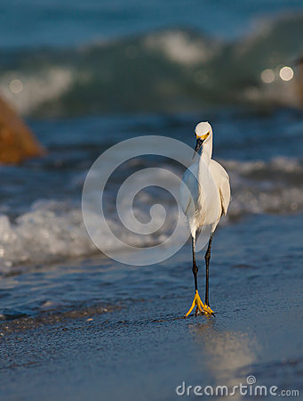 Snowy white egret walks on shoreline