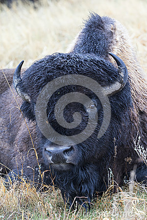 Free Soaked Bull Buffalo Lying In Prairie Stock Photography - 42454852