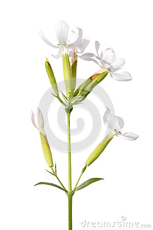 Soapwort medicinal plant isolated on white