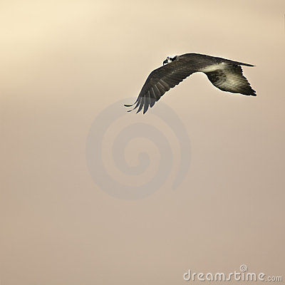 Free Soaring Bird At Sunset Stock Photography - 4960602