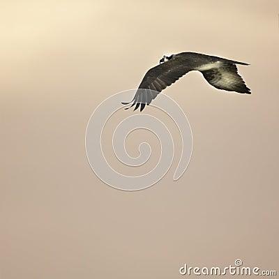Soaring bird at sunset
