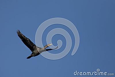 Soaring cormorant.