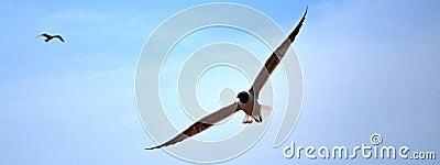 Soaring Gulls