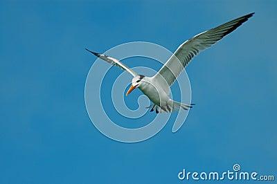 Soaring Least Tern