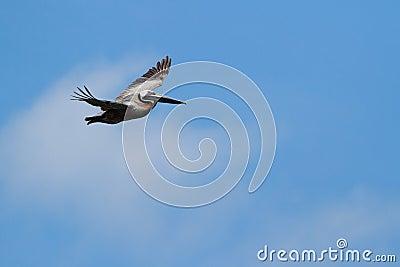 Soaring Pelican