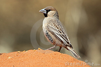 Sociable weaver in red Kalahari desert sand