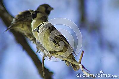 Social weaver birds