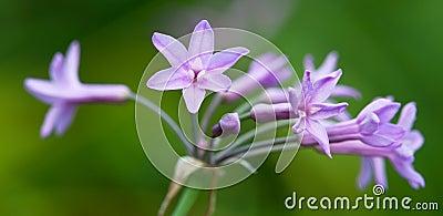 Society Garlic Flower