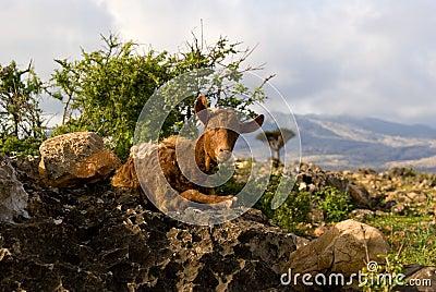 Socotra Goat