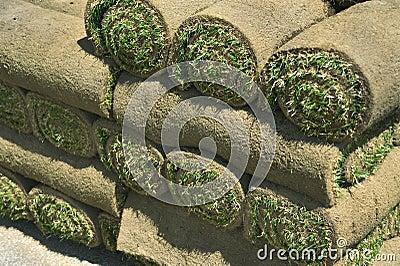 Sod turf grass