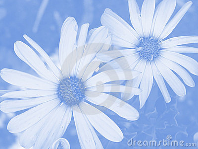 Soft Blue Daisy Floral Background