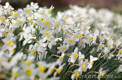 Soft cloud of Narcissi