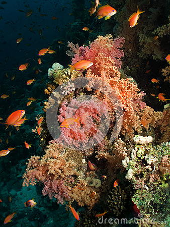 Soft Coral.