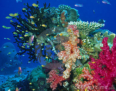 Soft coral reef scene
