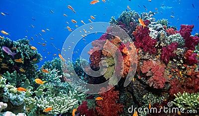 Soft coral reef scene