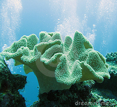 Free Soft Coral - Sarcophyton Stock Photo - 2515740