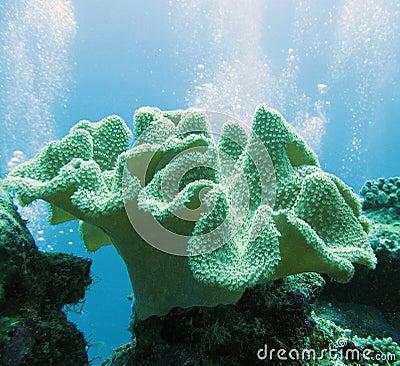 Soft coral - sarcophyton