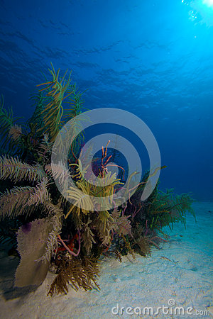 Soft Corals near Cayo Largo, Cuba